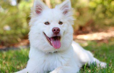 En vit hund