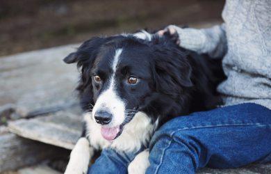 Hund i knät